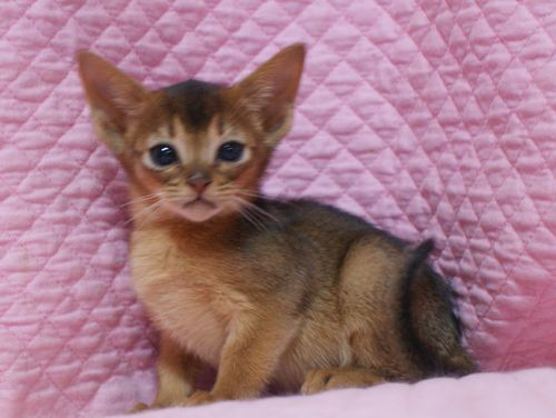 アビシニアン子猫ちゃん 家族募集 ルディ ブルー 12月10日生まれ2017' エンちゃんの子猫_e0033609_00541617.jpg