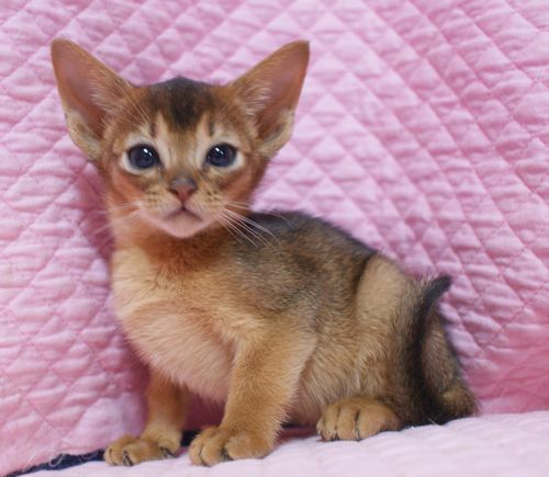 アビシニアン子猫ちゃん 家族募集 ルディ ブルー 12月10日生まれ2017' エンちゃんの子猫_e0033609_00542209.jpg