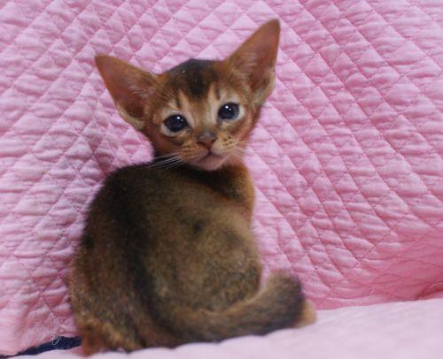 アビシニアン子猫ちゃん 家族募集 ルディ ブルー 12月10日生まれ2017' エンちゃんの子猫_e0033609_00543251.jpg
