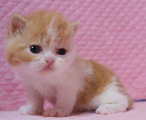 エキゾチックショートヘア アロエ赤ちゃん 1/14生まれ_e0033609_02522387.jpg
