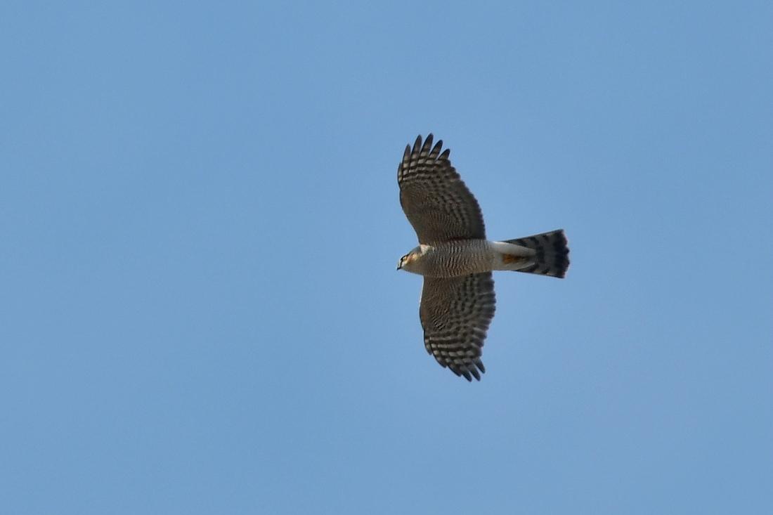 小鳥を狙って...ハイタカ_f0053272_21165571.jpg