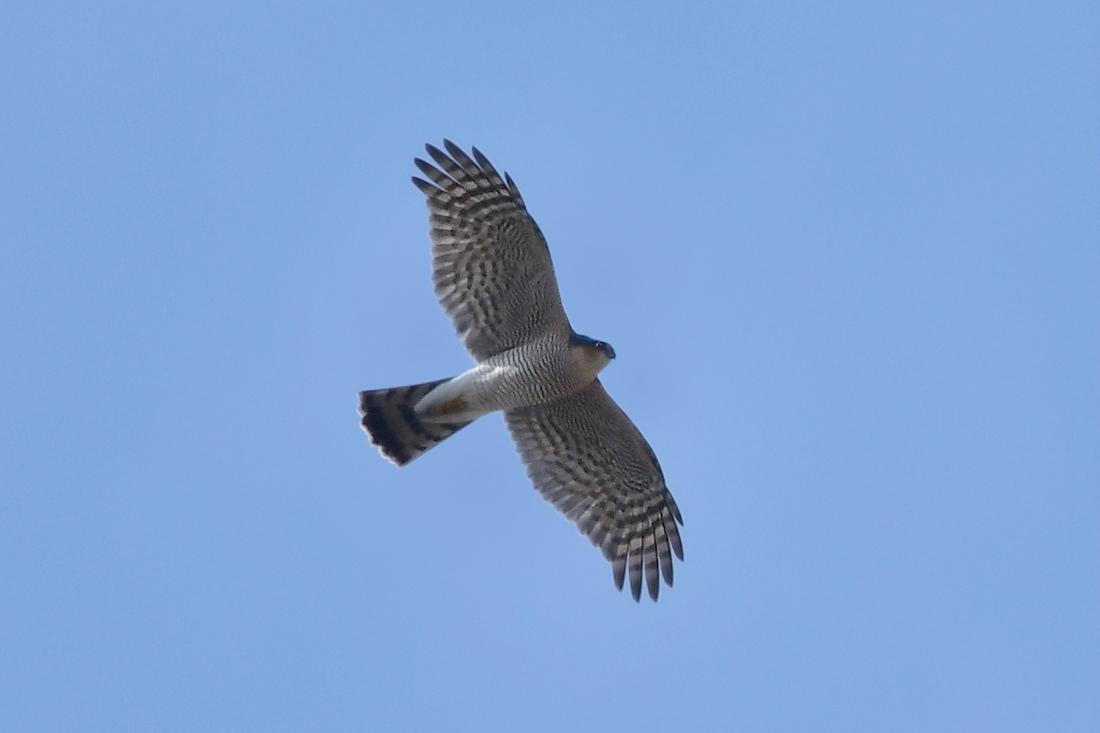 小鳥を狙って...ハイタカ_f0053272_21173409.jpg