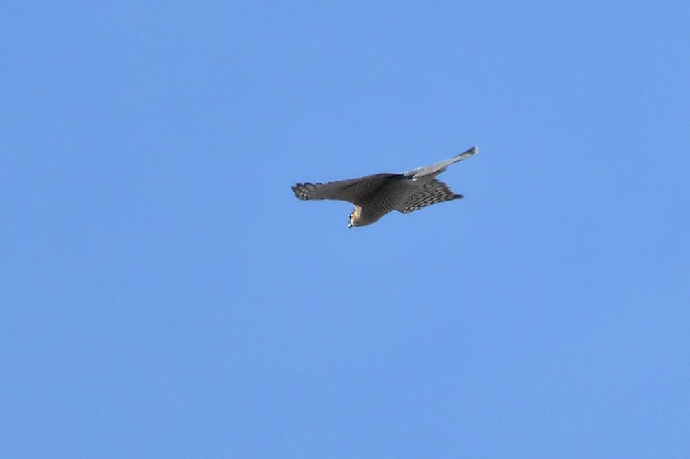 小鳥を狙って...ハイタカ_f0053272_21174833.jpg