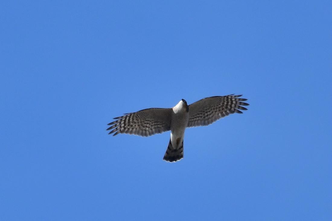 小鳥を狙って...ハイタカ_f0053272_21184699.jpg