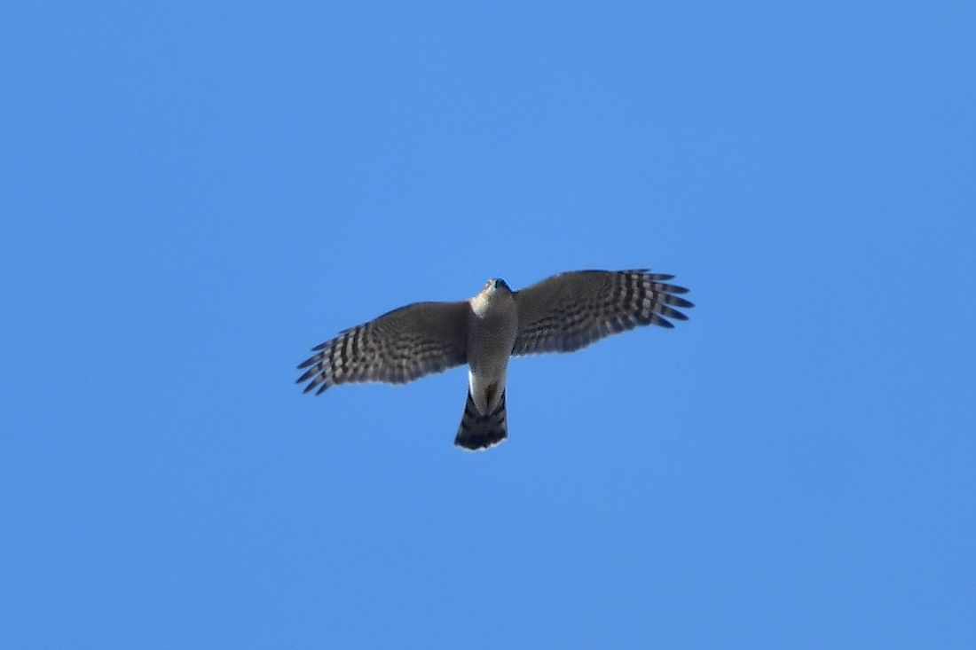 小鳥を狙って...ハイタカ_f0053272_21185338.jpg