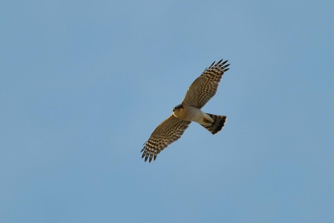 小鳥を狙って...ハイタカ_f0053272_21190047.jpg