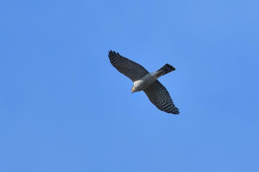 小鳥を狙って...ハイタカ_f0053272_21254322.jpg