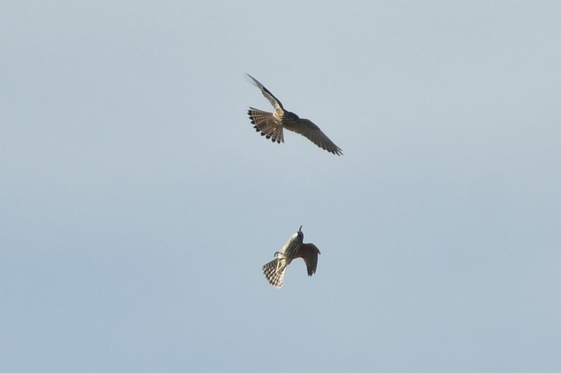 小鳥を狙って...ハイタカ_f0053272_21332795.jpg