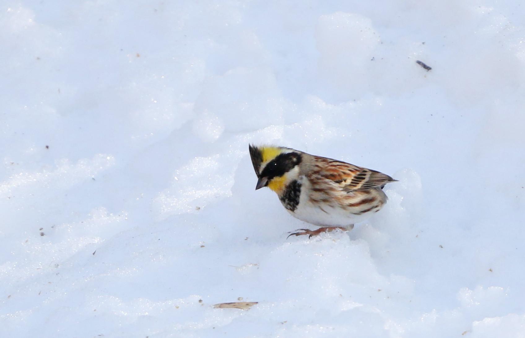 雪絡みのミヤマホオジロに逢いに_f0239515_18583062.jpg