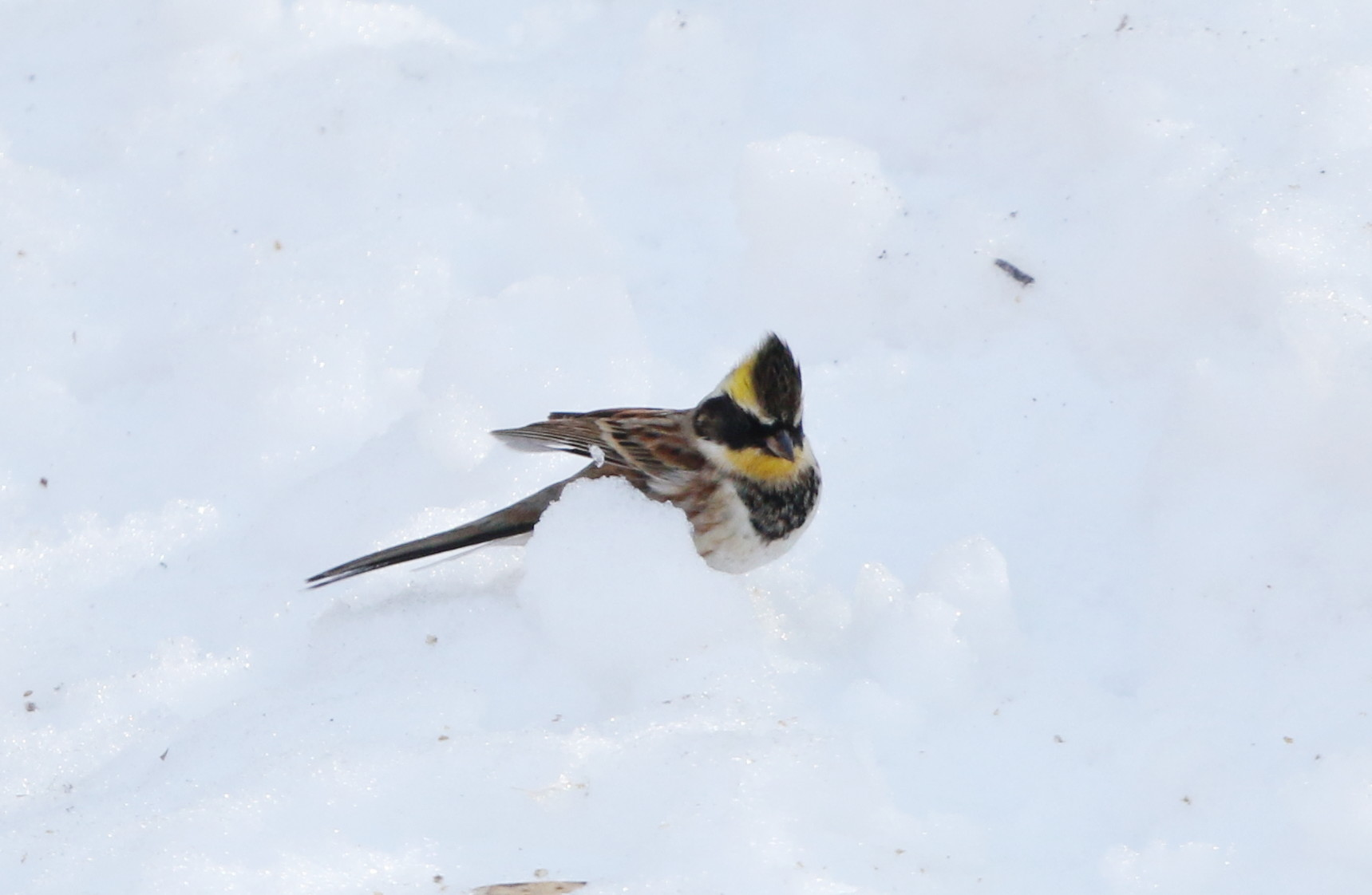 雪絡みのミヤマホオジロに逢いに_f0239515_1858645.jpg
