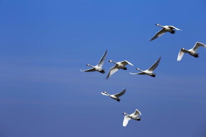 千葉県の白鳥たち_e0305388_22090968.jpg
