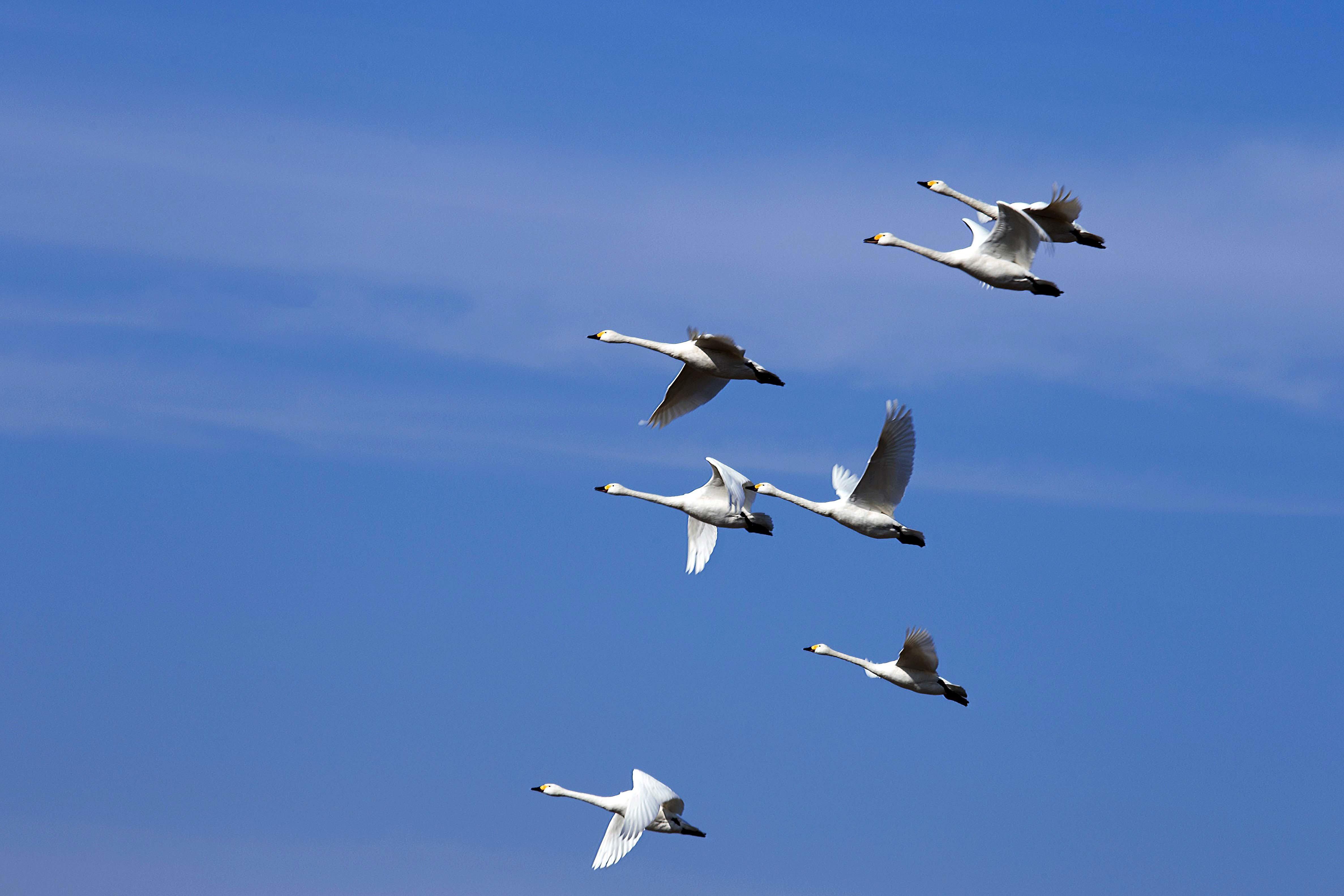 千葉県の白鳥たち_e0305388_22093848.jpg