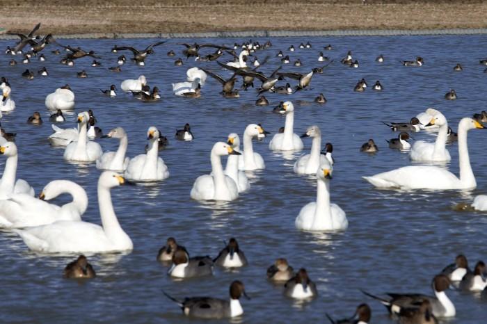 千葉県の白鳥たち_e0305388_22095183.jpg