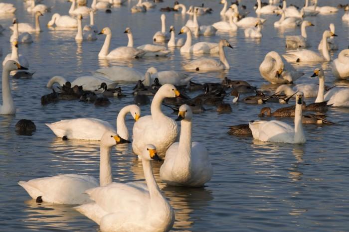 千葉県の白鳥たち_e0305388_22102808.jpg