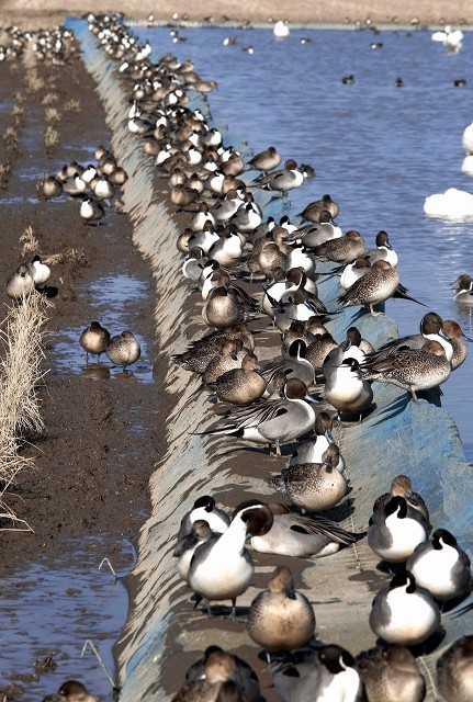 千葉県の白鳥たち_e0305388_22132918.jpg