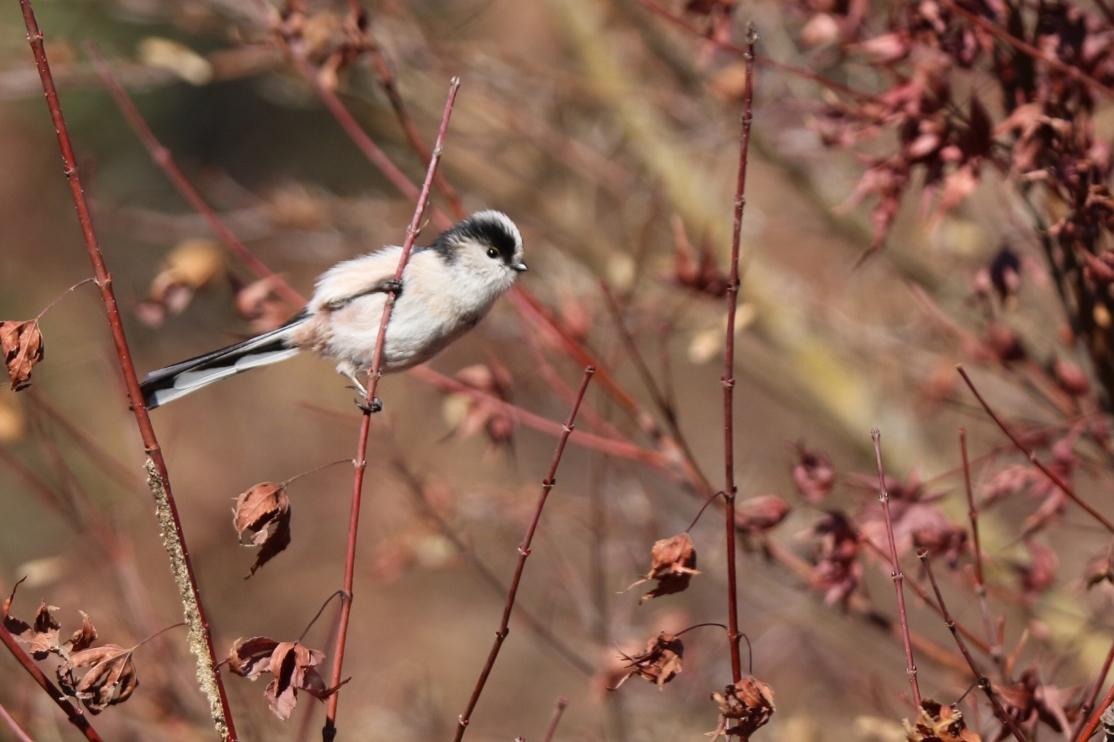 別府沼公園の野鳥(1月)_e0291438_14114583.jpg