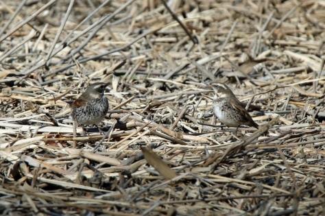 別府沼公園の野鳥(1月)_e0291438_14120143.jpg