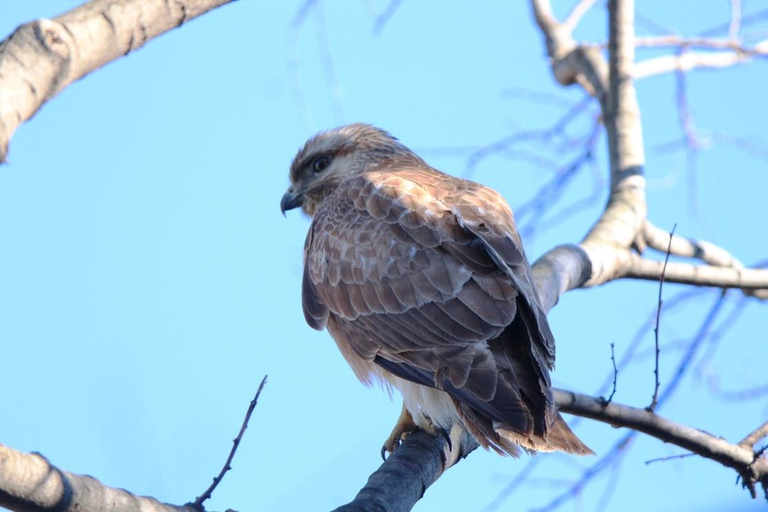 別府沼公園の野鳥(1月)_e0291438_14130170.jpg