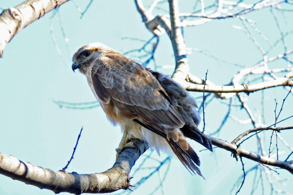 別府沼公園の野鳥(1月)_e0291438_14135859.jpg