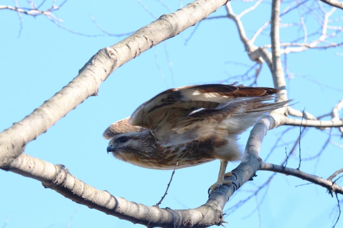 別府沼公園の野鳥(1月)_e0291438_14142017.jpg