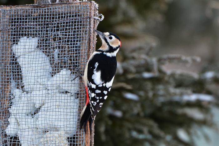 アカゲラ(Great Spotted Woodpecker)/2018.02_b0148352_07064000.jpg