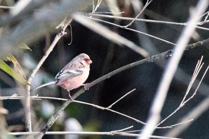 いろいろな野鳥の食事〜久しぶりの再会、ベニマシコ_b0148762_21154930.jpg