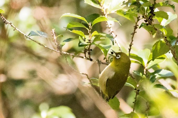 いろいろな野鳥の食事〜久しぶりの再会、ベニマシコ_b0148762_21174078.jpg