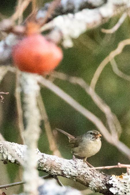 いろいろな野鳥の食事〜久しぶりの再会、ベニマシコ_b0148762_21205172.jpg