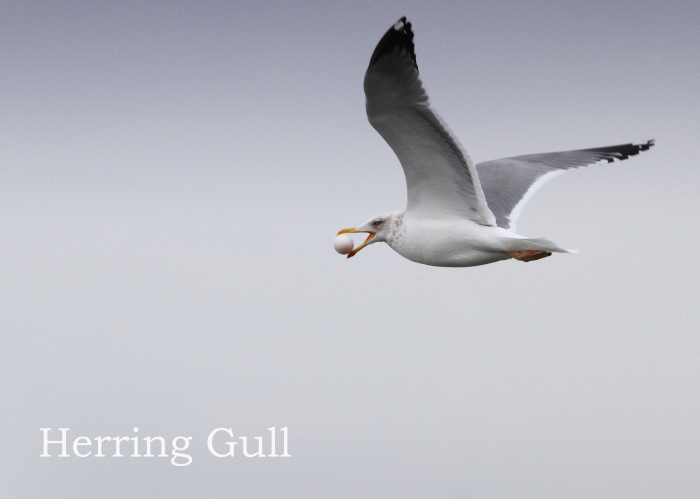 セグロカモメ:Herring Gull_b0249597_11563916.jpg