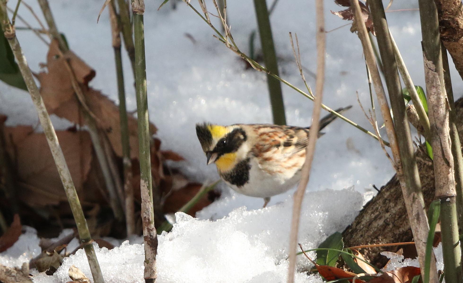 雪絡みのミヤマホオジロに逢いに  その2(笹薮から顔を出し)_f0239515_1841267.jpg