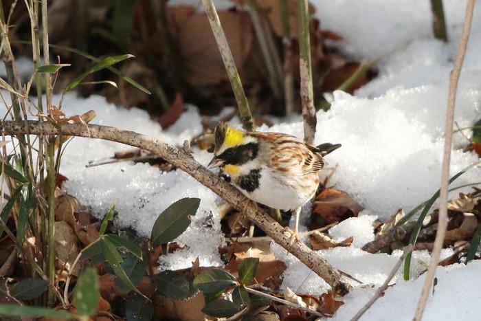 雪絡みのミヤマホオジロに逢いに  その2(笹薮から顔を出し)_f0239515_1853618.jpg