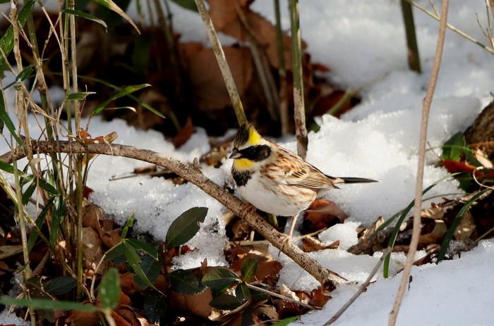 雪絡みのミヤマホオジロに逢いに  その2(笹薮から顔を出し)_f0239515_1855919.jpg