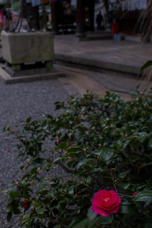 六角堂の寒牡丹_e0363038_1452051.jpg