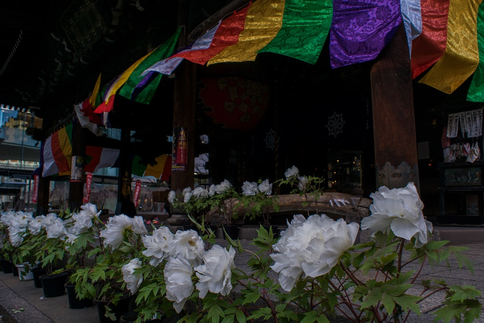 六角堂の寒牡丹_e0363038_1452429.jpg