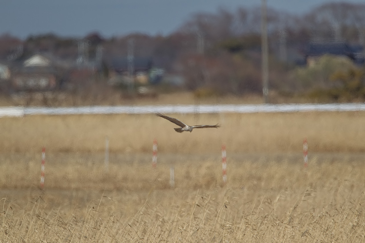 チュウヒ   大陸型も近くを飛びました_a0052080_10270928.jpg