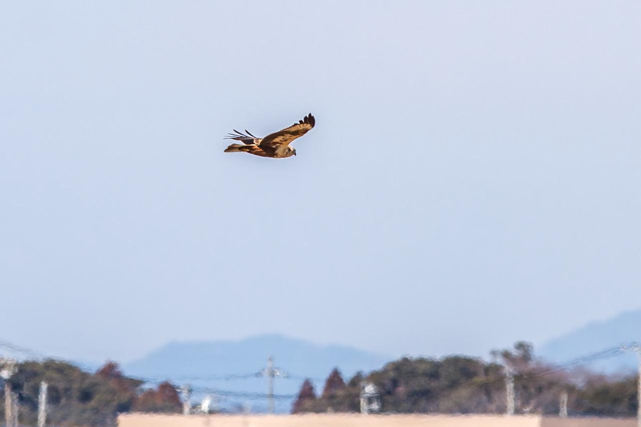 チュウヒ   大陸型も近くを飛びました_a0052080_11443035.jpg