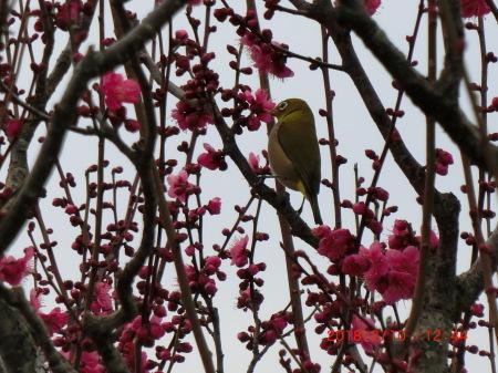 野鳥シリーズ  『メジロと梅』_b0011584_13173723.jpg