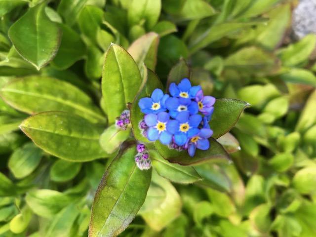 「忘れな草」が咲きました。_f0172744_9431778.jpg