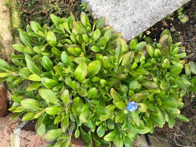 「忘れな草」が咲きました。_f0172744_943596.jpg