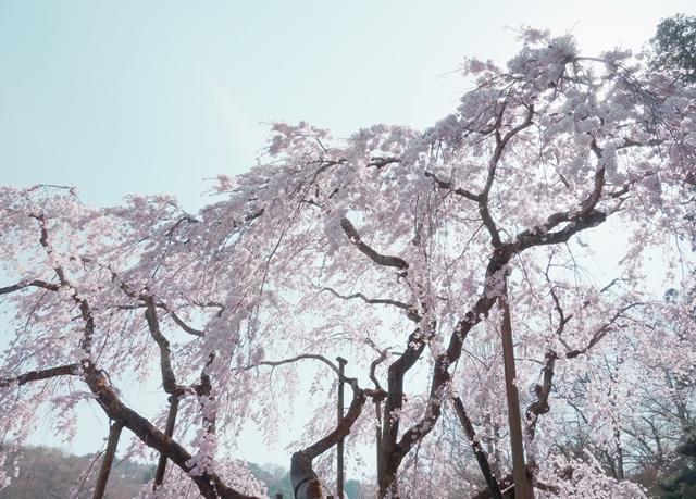 『花のさかりは、・・立春より七十五日、』 兼好法師 _b0018682_22402594.jpg