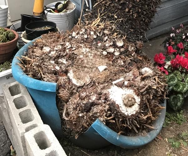 ソテツの根っこが鉢を割ってる?_a0163788_22323409.jpg