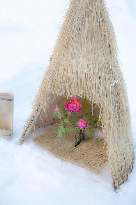 冬咲きボタン_c0077395_16345386.jpg