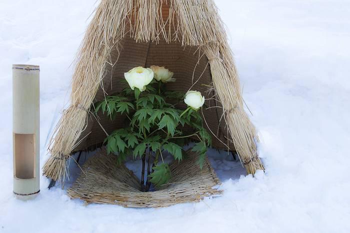 冬咲きボタン_c0077395_18033474.jpg