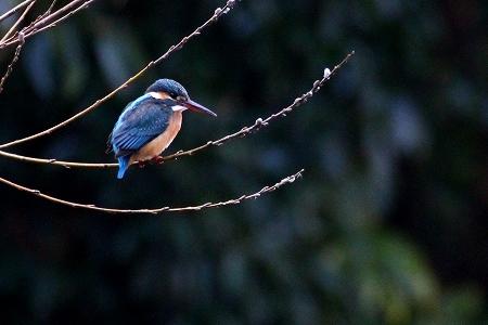 ★先週末の鳥類園(2018.2.10~12)_e0046474_12044164.jpg