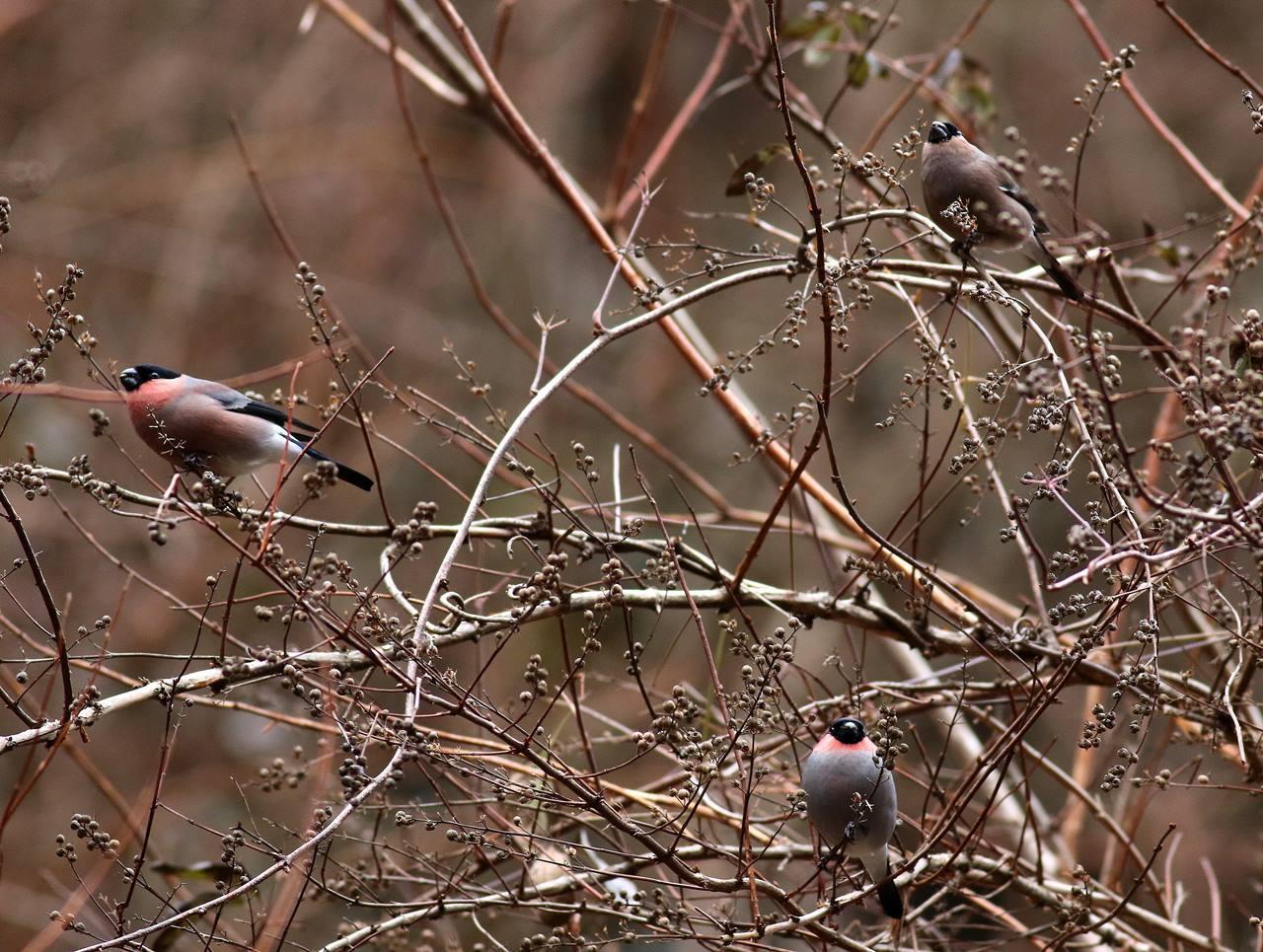 北摂のいつもの山間に3羽のウソがやって来た・・・_c0213607_16354387.jpg