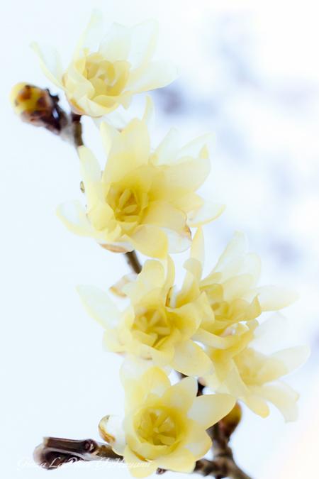 花のある風景 黄色のロウバイ_b0133053_00034209.jpg