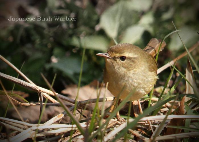 ウグイス:Japanese Bush Warbler_b0249597_06180514.jpg