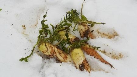 雪の下の大根  2018.02.16_c0213599_19262944.jpg