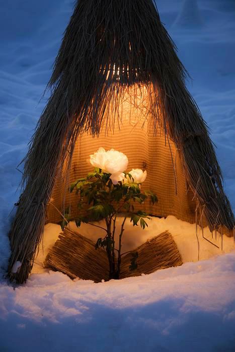 冬咲きボタン、ライトアップ編_c0077395_13360799.jpg