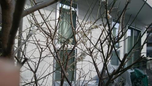 梅の花_f0129627_09263845.jpg